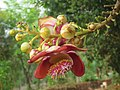Couroupita guianensis - Cannon Ball Tree at Peravoor (13).jpg