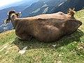 Cow on Monte Generoso.jpg
