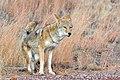 Coyote (5500616218).jpg