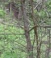 Crataegus douglasii mature bark.jpg