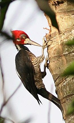 Crimson-crestewoodpecker