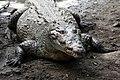 Crocodylus acutus 03.jpg