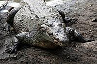 Crocodylus acutus 03