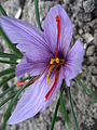 Crocus sativus 01 by Line1.JPG