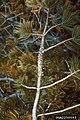 Cronartium ribicola Pinus albicaulis aecia (01).jpg