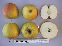 Cross section of Starkspur Golden Delicious (EMLA 1), National Fruit Collection (acc. 1979-189).jpg