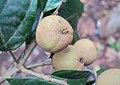 Croton malabaricus 25.jpg