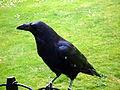 Crows 8 2012-07-04.jpg