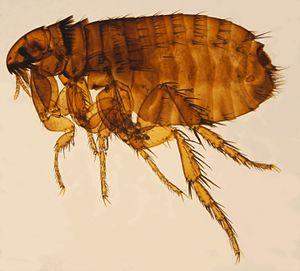Cat flea - Female cat flea