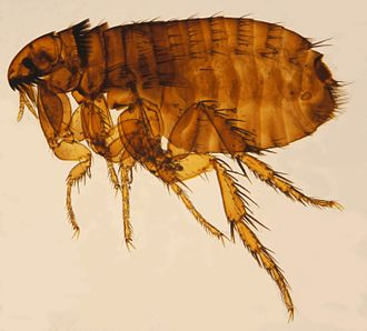 Cat flea - Female cat flea