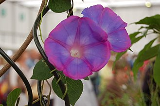 Ipomoea indica - Cultivated I. indica  at the BBC Gardeners' World show in June 2011, note the tendrils around the black metal support.