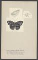 Cybdelis - Print - Iconographia Zoologica - Special Collections University of Amsterdam - UBAINV0274 003 01 0055.tif