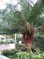 Cycas circinalis L..JPG