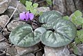 Cyclamen coum - Eastern sowbread 04.jpg