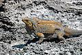 Cyclura rileyi rileyi (San Salvador rock iguana) (Green Cay, offshore from northwestern San Salvador Island, Bahamas) 5 (15418496034).jpg