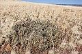 Cylindropuntia whipplei - Flickr - aspidoscelis (2).jpg