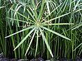 Cyperus papyrus (15155000261).jpg