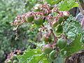 Cyphostemma cirrhosum, d, Roodekrans.jpg