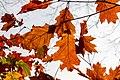 Dülmen, Börnste, Herbstlaub -- 2020 -- 3558.jpg