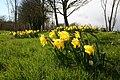 Daffodils at Farndon - geograph.org.uk - 739113.jpg