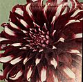 Dahlias - over 75 varieties offered in this special sales folder (1959) (20829161125).jpg