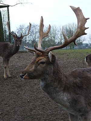 Fallow Deers (Dama dama), male and females in winter coat.