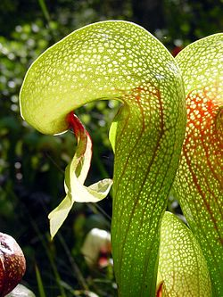 Darlingtonia californica ne1 (crop).jpg