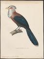 Dasylophus cumingii - 1841-1852 - Print - Iconographia Zoologica - Special Collections University of Amsterdam - UBA01 IZ18800339.tif