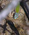 Day Gecko (Phelsuma modesta isakae) (9631098266).jpg