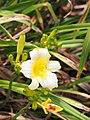Daylilies Unknown - 9338695300.jpg
