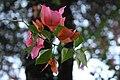 Deer Park Bougainvillea Flowers.jpg