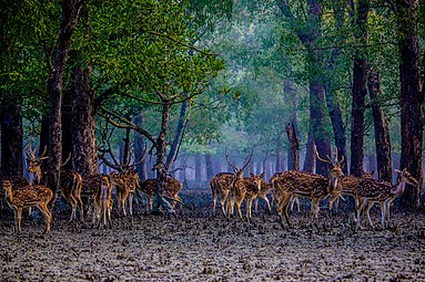 Deer at sundarban.jpg