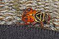 Delta Flower Scarab Beetle - Trigonopeltastes delta, Archbold Biological Station, Venus, Florida.jpg