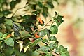 Demon chillies plant red -1.jpg