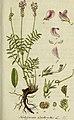 Deutschlands flora in abbildungen nach der natur (1806) (14576598050).jpg