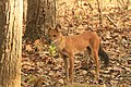 Dhole or Wild dog (70).jpg