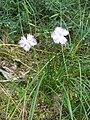 Dianthus gallicus004.jpg