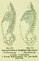 Die Frau als Hausärztin (1911) 133 134 Umfang der Brust- und Bauchhöhle nach erfolgter Aus- und Einatmung.png