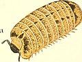 Die Myriapoden - getreu nach der Natur abgebildet und beschrieben (1863) (20941673731).jpg