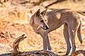 Dingo (34650957965).jpg