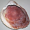Dinocardium robustum (Atlantic giant cockle shell) (Sanibel Island or Cayo Costa Island, Florida, USA) 3.jpg