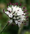 Dipsacus pilosus inflorescence (41).png