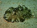Discodoris boholiensis-CA Pulau Sempu 2019.jpg