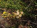 Dittrichia viscosa 2 Sos Alinos Rural 16072014 40.437, 9.767.jpg