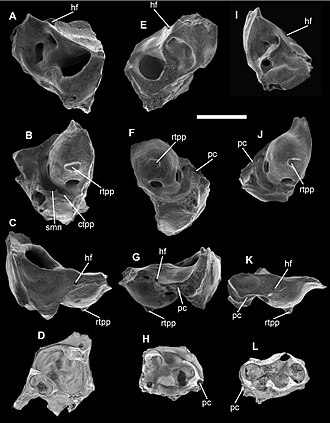 Djarthia - Isolated petrosals of Djarthia murgonensis