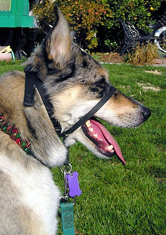Dog collar - The halter-style collar controls the dog's head but does not restrict its ability to pant, drink, or grasp objects.