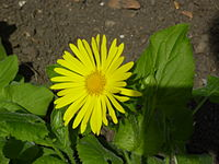 Doronicum pardalianches 'Great Leopard's Bane' (Compositae) flower