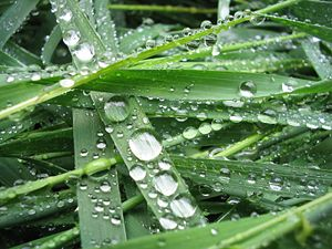 Hydrophobe - Water drops on the hydrophobic surface of grass