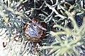 Dryandra pteridifolia-7.JPG