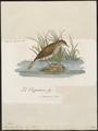 Drymoica thoracica - 1796-1808 - Print - Iconographia Zoologica - Special Collections University of Amsterdam - UBA01 IZ16200045.tif
